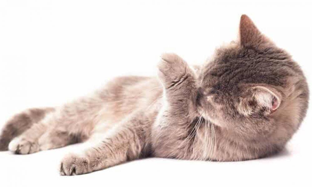 Des chats comme employeurs ? Devenez toiletteur pour félins.